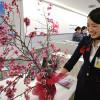 JAL、沖縄から日本一早い桜 21空港で展示
