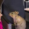 カンタス航空、787-9愛称に「クオッカ」 3号機命名、世界一幸せな動物