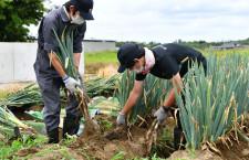 JAL、成田空港近くでネギ収穫手伝い「低い姿勢が大変」